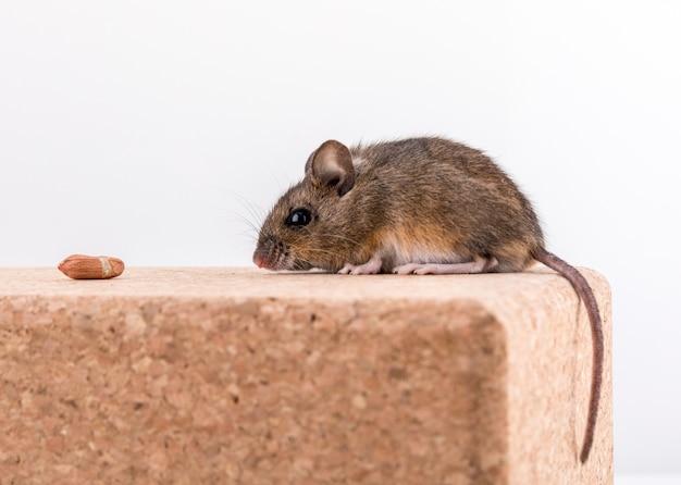 Vista laterale di un simpatico topo di legno, apodemus sylvaticus, seduto su un mattone di sughero, annusando alcune noccioline
