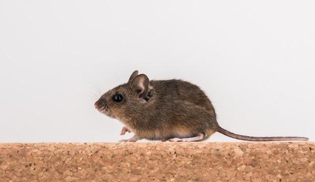 Vista laterale di un topo di legno, apodemus sylvaticus, seduto su un mattone di sughero