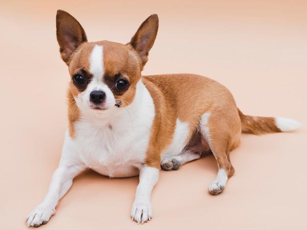 Vista lunga del simpatico cane chihuahua