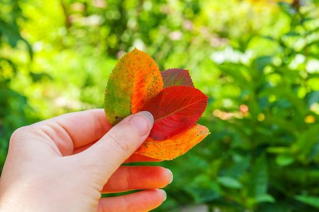 Vista naturale di caduta di autunno del primo piano della mano della donna che tiene le foglie arancio rosse su fondo verde vago in giardino o in parco