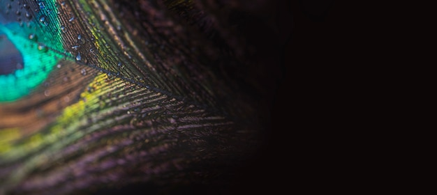 Vista panoramica di piume di pavone colorate e artistiche su sfondo nero
