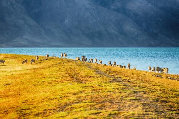 Vista scenica delle pecore in isola del sud nuova zelanda, concetto delle destinazioni di viaggio