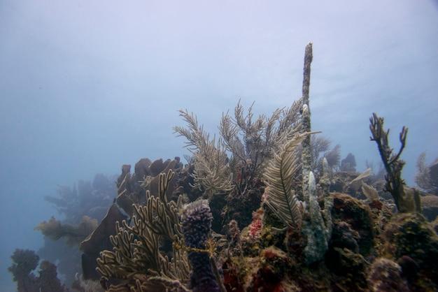 Vista subacquea della barriera corallina, utila, bay islands, honduras