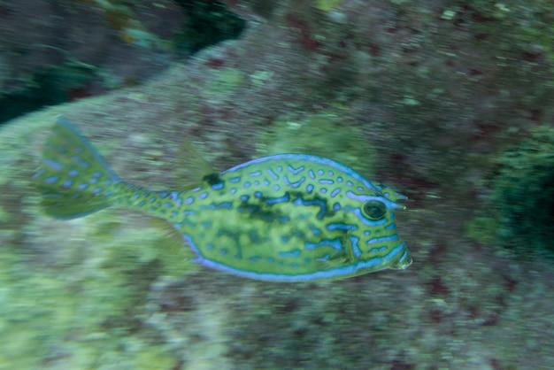 Vista subacquea di un cowfish scarabocchiato (acanthostracion quadricornis), utila, bay islands, honduras