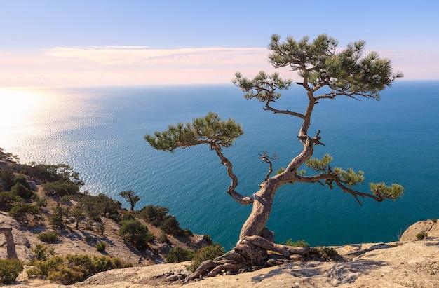 Vista sul mar nero all'alba. l'albero di pino sulla roccia è illuminato dai raggi del sole. nuovo mondo (novy svet). crimea
