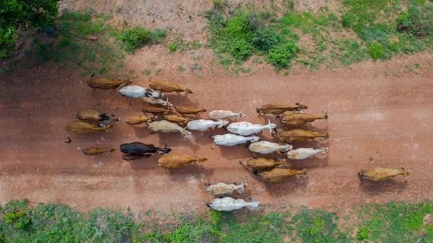 Vista superiore aerea delle masse di molte mucche che camminano nella campagna, tailandia