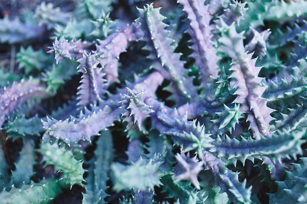 Vista superiore del deserto del cactus spinoso, primo piano