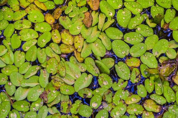 Vista superiore della pianta galleggiante dell'acqua sulla superficie dello stagno tropicale. sfondo naturale