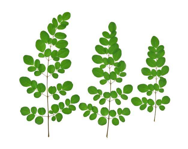 Vista superiore delle foglie verdi di moringa, erbe tropicali isolate su fondo bianco