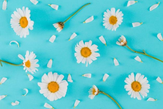 Vista superiore margherite e petali