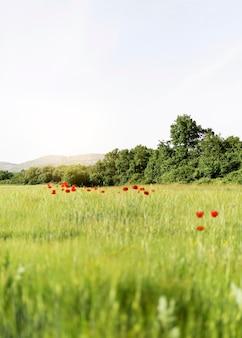 Vita da fattoria con campo di papaveri