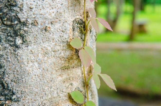 Vite di edera velenosa, toxicodendron radicans, crescendo sul lato di un albero