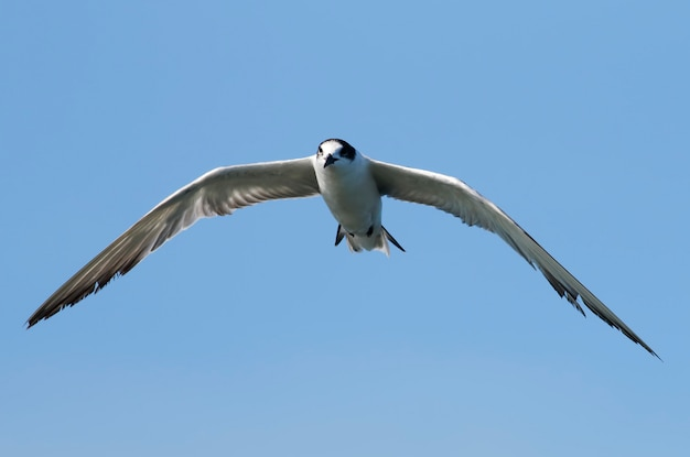 Volo comune dell'uccello di hirundo di sterna della sterna sul cielo blu