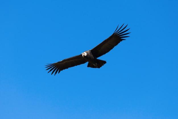 Volo condor
