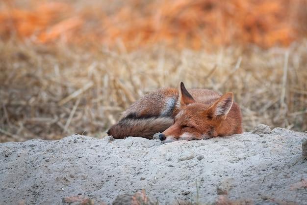 Volpe rossa che dorme all'alba
