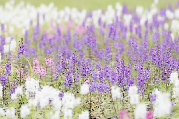 Waichian flower waew (angelonia goyazensis benth)