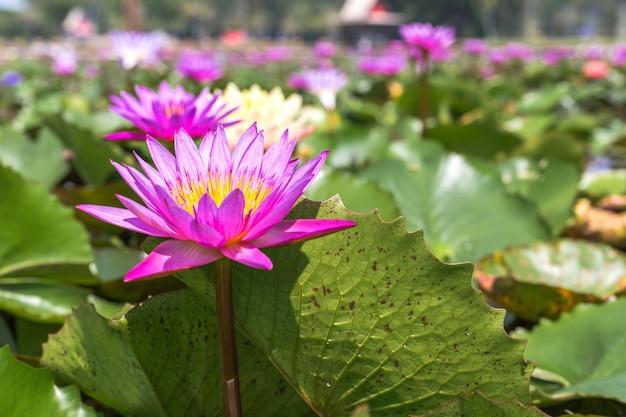 Waterlily nello stagno del giardino