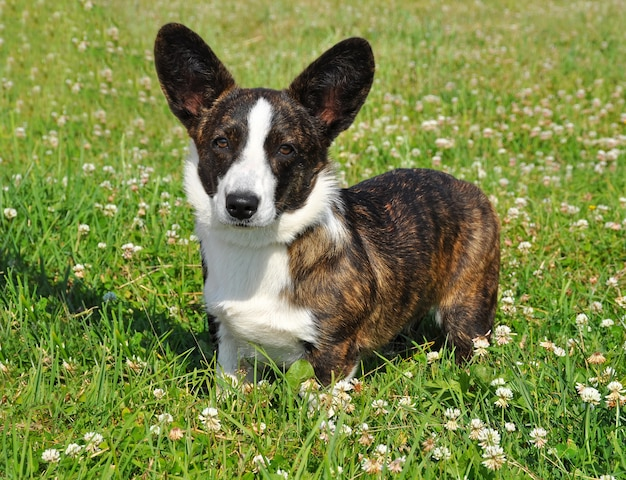 Welsh cardigan corgi in natura