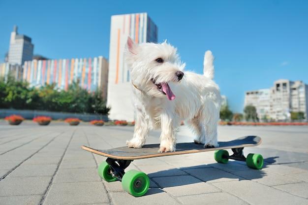 West highland terrier sulla tavola da skate guardando indietro