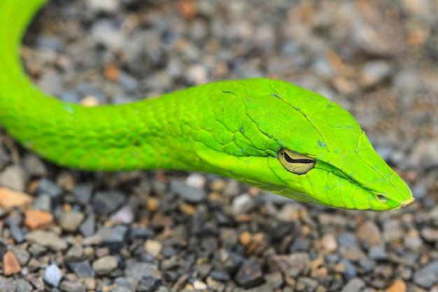 Whipsnake orientale o serpente di vite asiatica