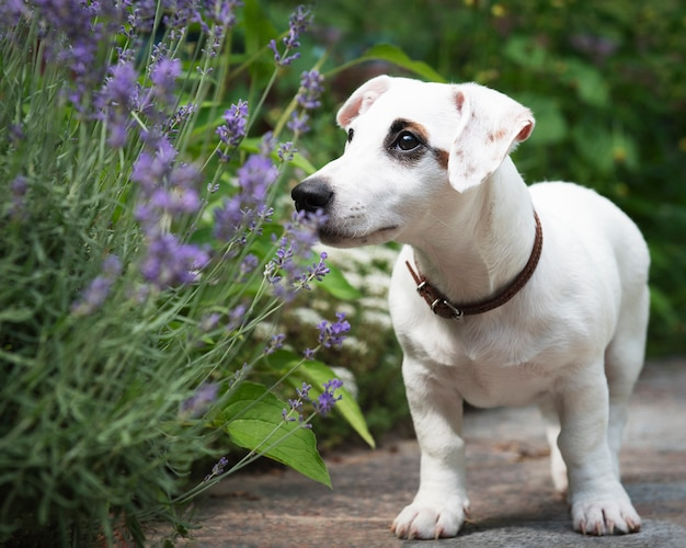 White jack russell terrier cane nel parco sull'erba