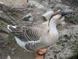 Wild geese fauna selvatica