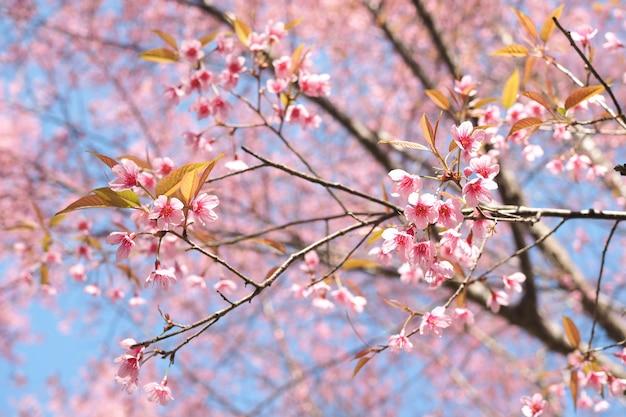 Wild himalayan cherry blossoms nella stagione primaverile, rosa sakura flower for lo sfondo