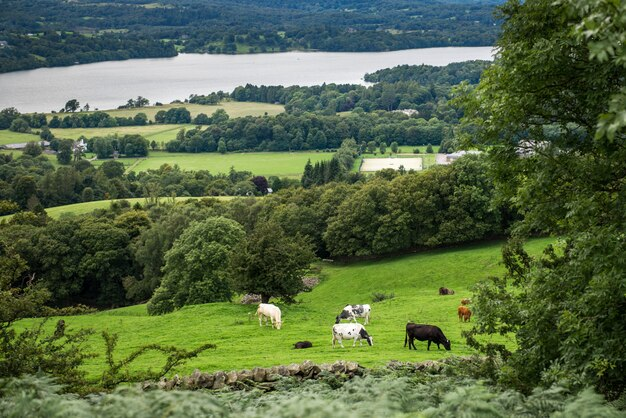 Windermere lake da orrest head on the meadows with cows