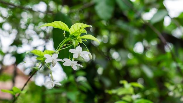 Wrightia religiosa bellissimi fiori
