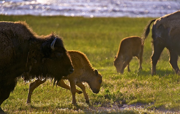 Wyoming bisons