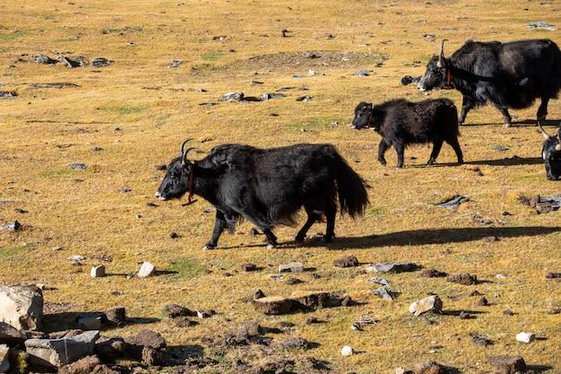 Yak che pascono nei campi asciutti in shangri-la, cina