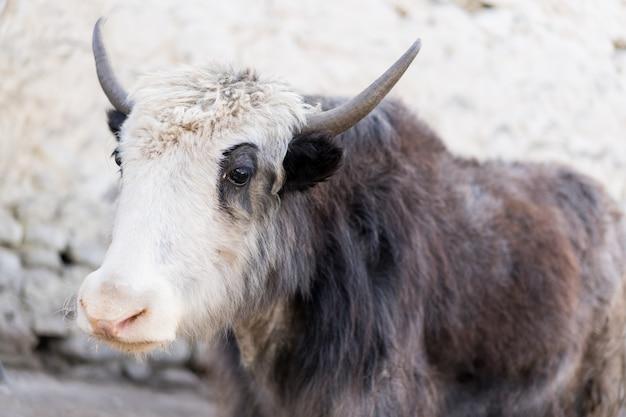 Yak pensoso con corna bianco-marrone