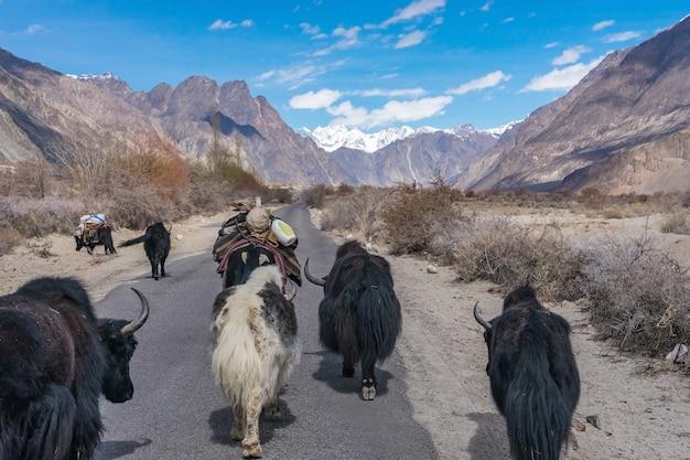 Yak selvaggi che camminano sulla strada sulla strada per il paesaggio di montagna in leh, india