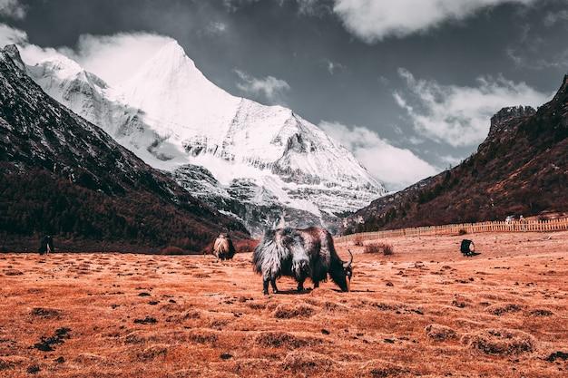 Yak tibetani neri in un pascolo alle montagne della neve con il fondo scuro delle nuvole