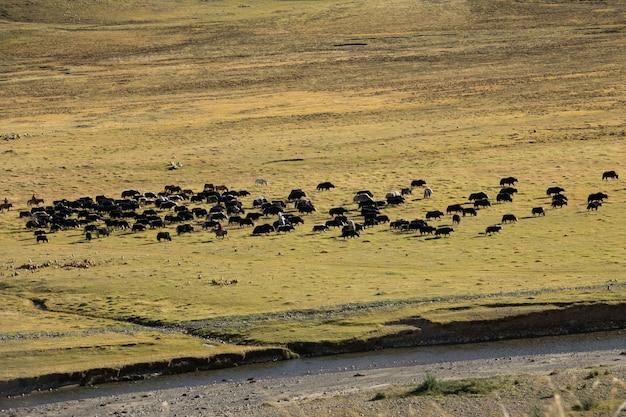 Yak tibetano sul campo di erba con giro del contadino sui cavalli
