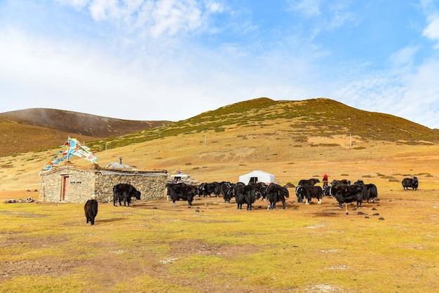 Yaks sul campo nella contea di daocheng