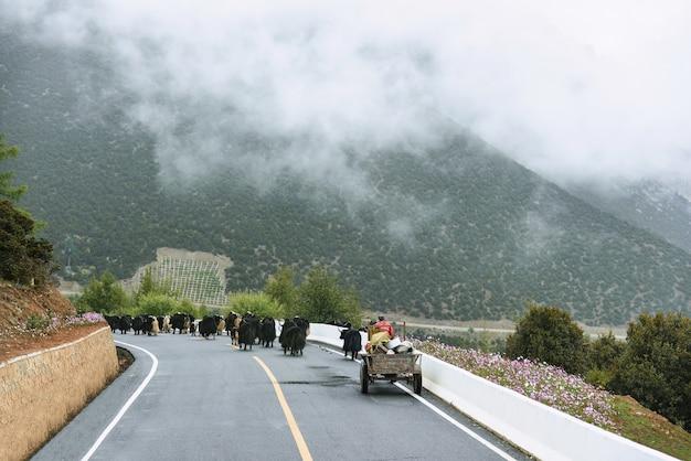 Yaks waiking sulla strada a yading