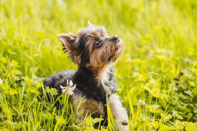 Yokshire terrier per una passeggiata nell'erba