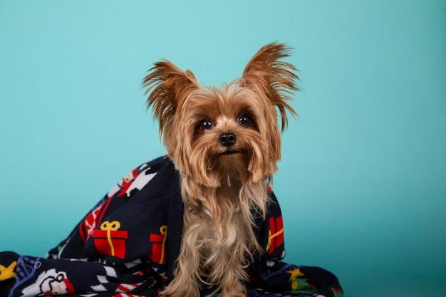 Yorkshire razza cane seduto con un maglione di natale