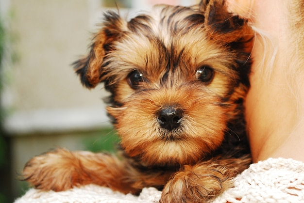 Yorkshire terrier cane
