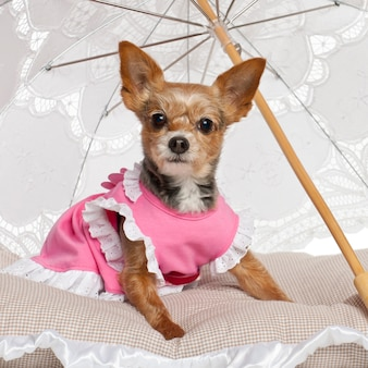 Yorkshire terrier che si siede sotto il parasole contro il fondo bianco