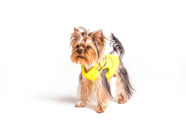 Yorkshire terrier con coda di cavallo e cappotto giallo