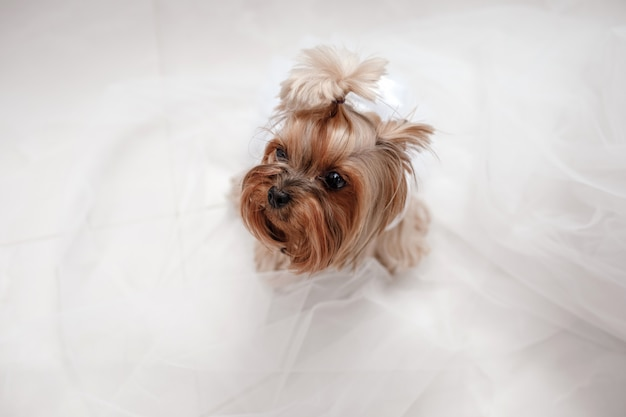 Yorkshire terrier in abito bianco. cane carino vestito per la sposa di nozze seduto su un bianco