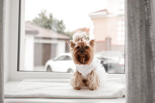 Yorkshire terrier in abito bianco. cane carino vestito per la sposa di nozze seduto su una finestra bianca