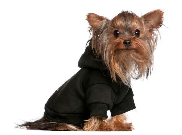 Yorkshire terrier indossa felpa con cappuccio nera con cappuccio, 1 anno di età,