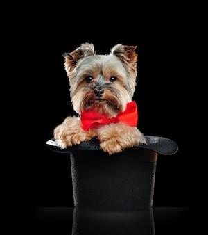Yorkshire terrier seduto in un cilindro magico in un nero