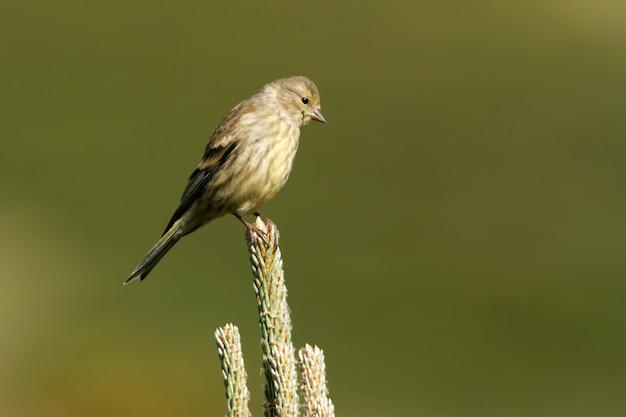 Young of citril fringillide, uccelli, passeriforme, canto degli uccelli, fringuello, cedro, carduelis citrinella