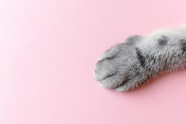 Zampa di gatto a strisce grigia su un rosa.