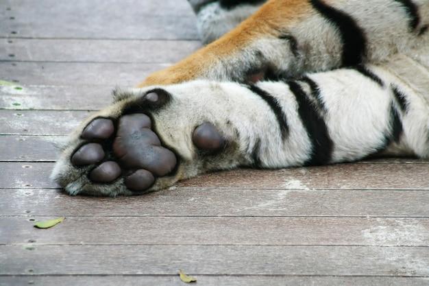Zampa di tigre