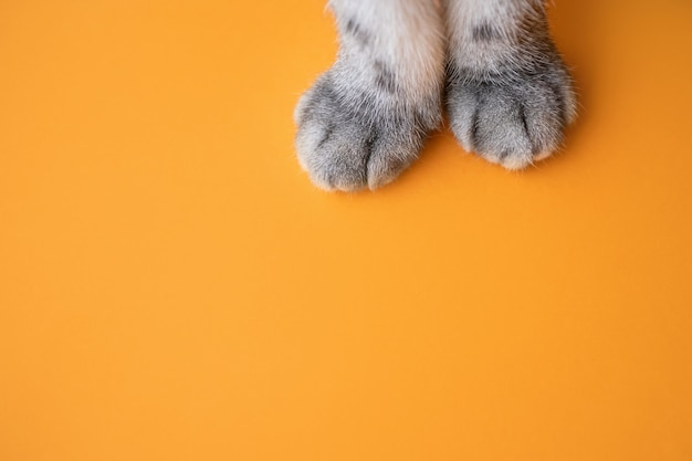 Zampe di un gatto grigio su uno sfondo arancione.